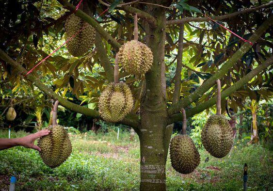 菲律宾榴莲