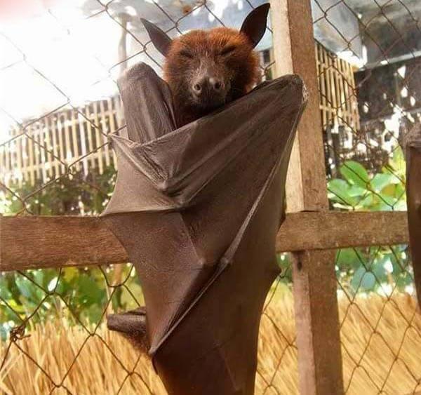 菲律宾野生动物,菲律宾果蝠