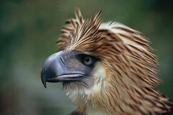 菲律宾野生动物,菲律宾雕