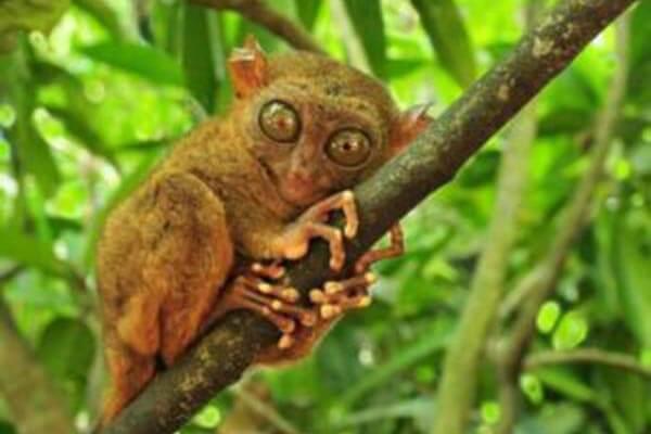 菲律宾野生动物,眼镜猴