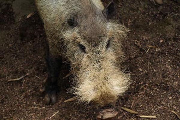 菲律宾大胡子猪