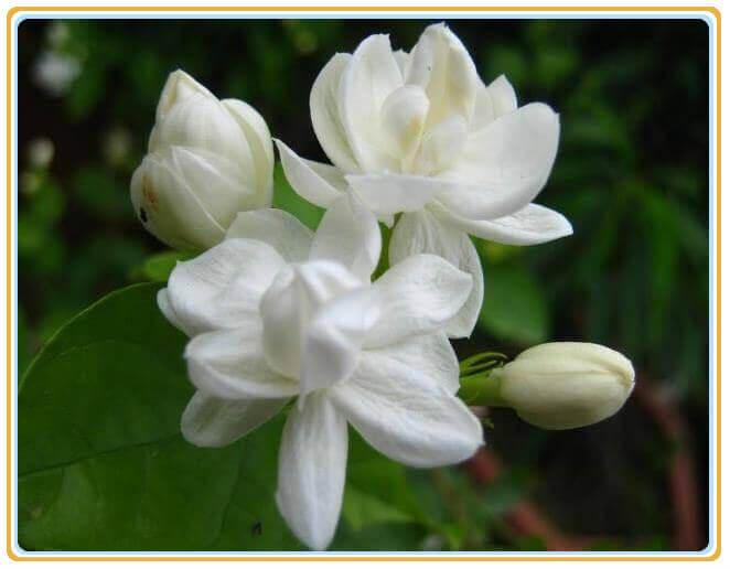 菲律宾国花:茉莉