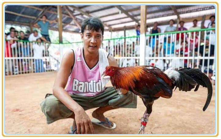 菲律宾斗鸡