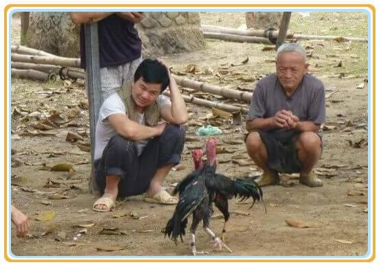 Chọi gà Philippines