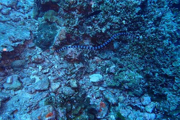 菲律宾水母
