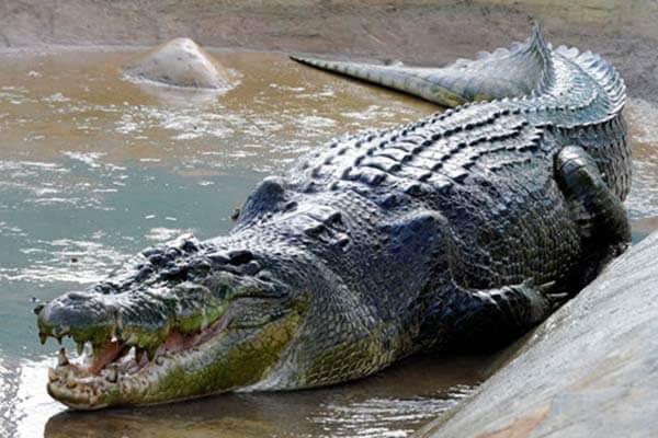 菲律宾巨型鳄鱼
