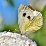 white-ling-3697204_640