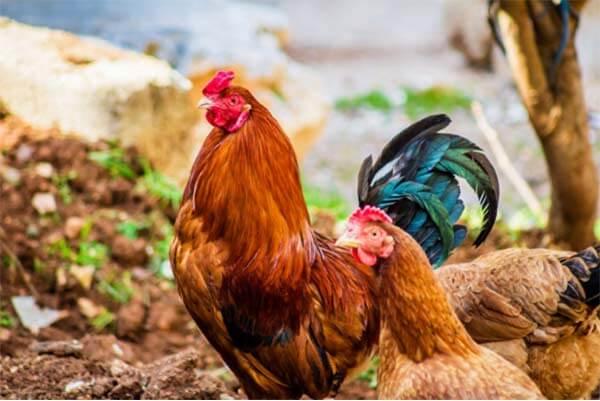 菲律宾斗鸡文化