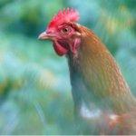 菲律宾警察执勤中被一只公鸡杀死,这可能是最奇葩的因公殉职了676