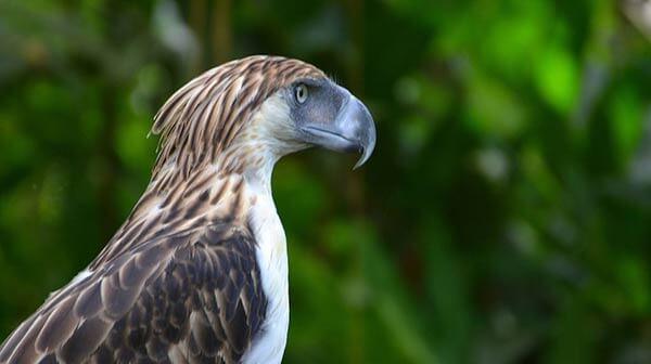 菲律宾食猴鹰