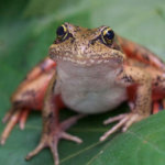northern-red-legged-frog1-1100×555