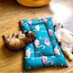 菲律宾两个月大的小奶狗爆红,百万粉丝只为欣赏它的睡姿1442