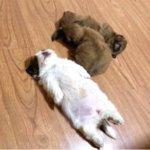 菲律宾两个月大的小奶狗爆红,百万粉丝只为欣赏它的睡姿533
