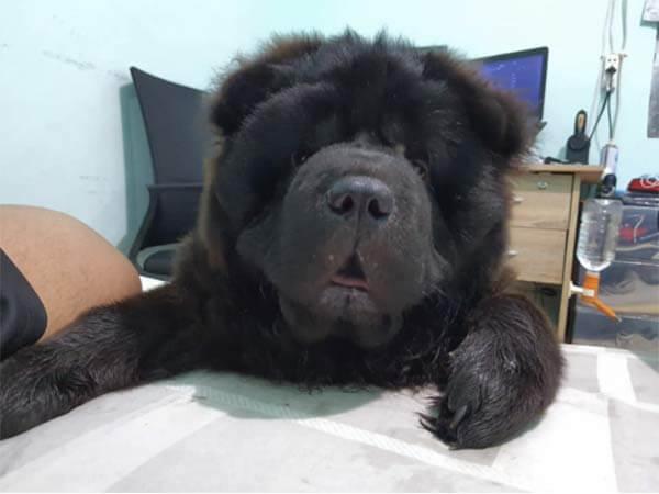 菲律宾松狮犬