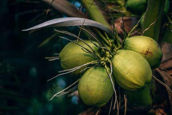 椰子做菜美味加倍
