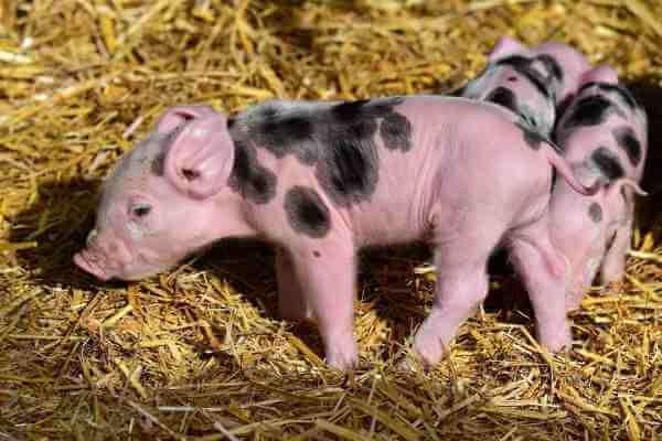 菲律宾非洲猪瘟疫情