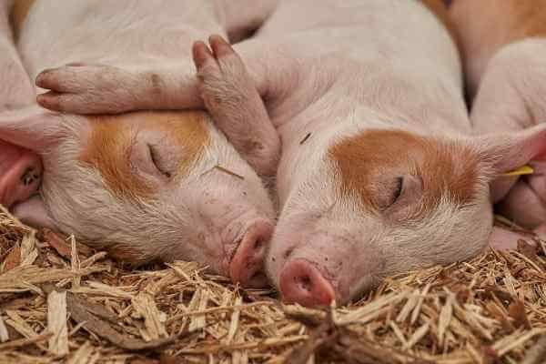 菲律宾猪瘟疫情