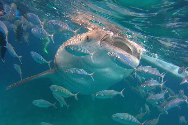 来菲律宾Oslob与鲸鲨共舞
